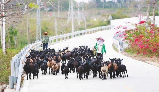 昌江叉河镇排岸村:村民养羊踏上致富路